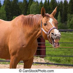 Yawning horse - A funny photo of a yawning horse
