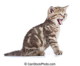 Yawning kitten cat isolated