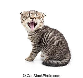 Yawning kitten isolated