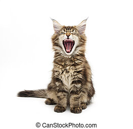 yawning maine coon kitten against white background