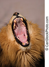 Yawning male African lion