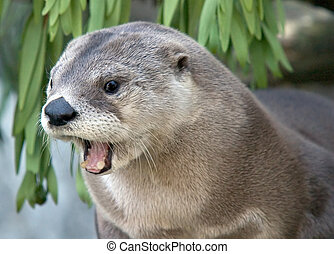North American River Otter (Lontra canadensis) in mid-yawn.