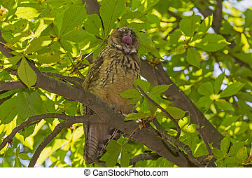 yawning owl on branch of tree
