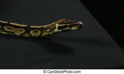 Yawning snake - royal python - Footage of royal ball python...