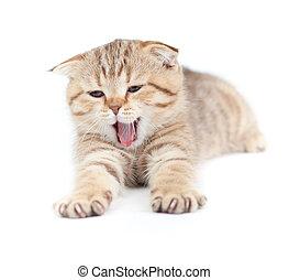 Yawning striped Scottish kitten lying isolated