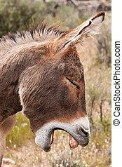 Wild Burro Donkey in Nevada Desert - Yawning Wild Burro...