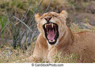 Yawning young lion in Kenya laying in the grass