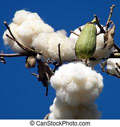 Yehud Chorisia speciosa 2010 - Fruit on a Chorisia speciosa ...