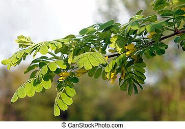 Yellow acacia branch - Yellow acacia Caragana arborescens ...