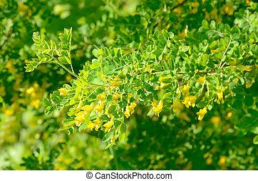 Yellow acacia (Caragana arborescens) tree