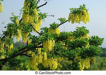 Yellow acacia in bloom at spring, nature