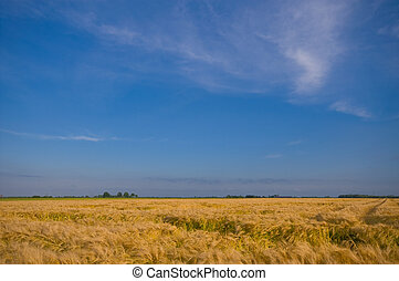 yellow acre with blue sky almost ready for the harvest