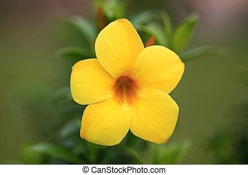 Yellow allamanda split from background