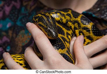 Yellow anaconda in woman's hands