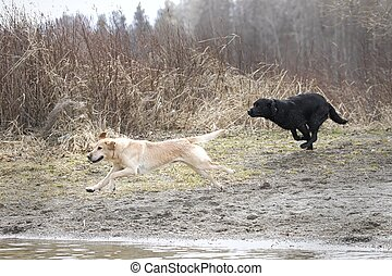 A black lab and a yellow lab run to the water in Hauser, Idaho.