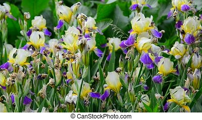 Yellow and blue iris on flower bed closeup