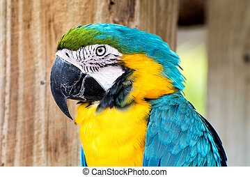 Yellow and blue macaw close up.