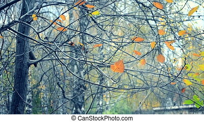 Yellow and brown leaves on branches on tree autumnal season....