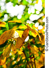 Yellow and green chestnut leaves growing on the tree -...