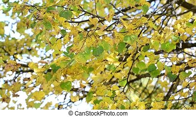 Yellow and green leaves on tree in autumn