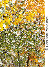 yellow and green leaves under first snow in autumn