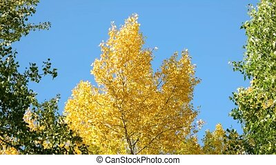 Yellow and green trees against blue sky background.