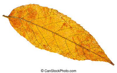 yellow and orange autumn leaf of ash tree isolated - yellow...