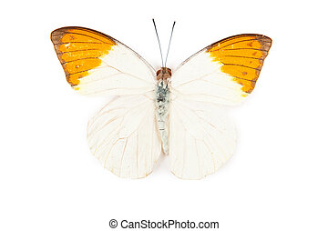 Yellow and orange butterfly Hebomoya glaucippe isolated on white background