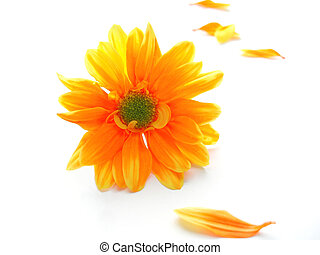 Perspective shot of yellow and orange chrysanthemum on white background wit petals