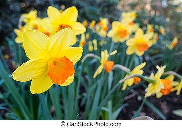 Yellow and Orange Daffodil
