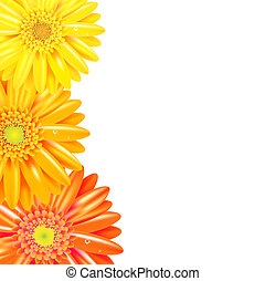 Yellow And Orange Gerbers Border, Isolated On White...