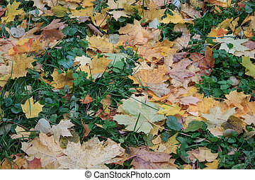 Yellow and orange maple leaves are lying on a green grass in the park. Autumn background.