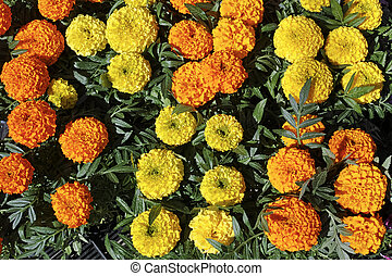Yellow and orange marigold flowers