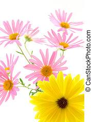 Yellow and pink gerbera daisies