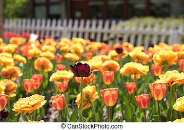 Yellow and Pink Peach Tulips in Garden