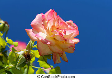 Yellow and pink rose on the bush over blue sky