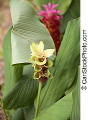 Yellow and Pink Siam tulip tropical ginger flower Curcuma alismatifolia