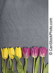 Yellow and pink tulips lined up in a row on a gray background.