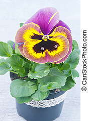 Yellow and purple pansies with drops of water
