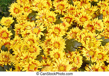 Yellow and Red Daisies in Garden