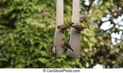 Yellow and Red Finches Feeding on Thistle Seed Outdoors