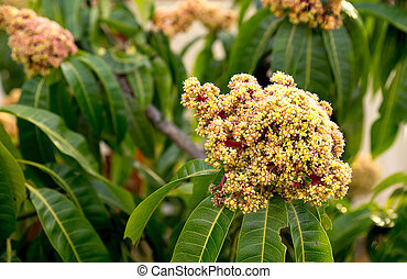 Yellow and red flowering mango tree with green leaves