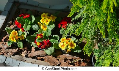 yellow and red flowers in pots near the juniper on the...