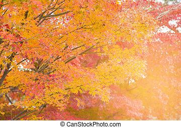 Yellow and red maple leaves in autumn season