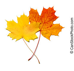 Yellow and red orange maplea leafs isolated on white background