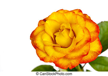 Yellow and Red Rose Isolated