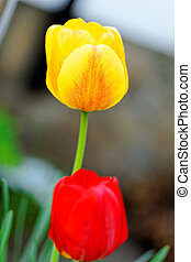 Yellow and red tulips in a garden