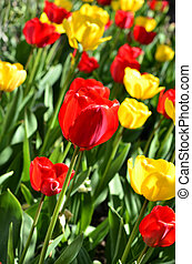 yellow and red tulips in the garden