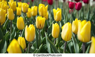 Yellow and red tulips on the flowerbed