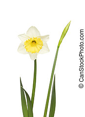 Yellow and white daffodil